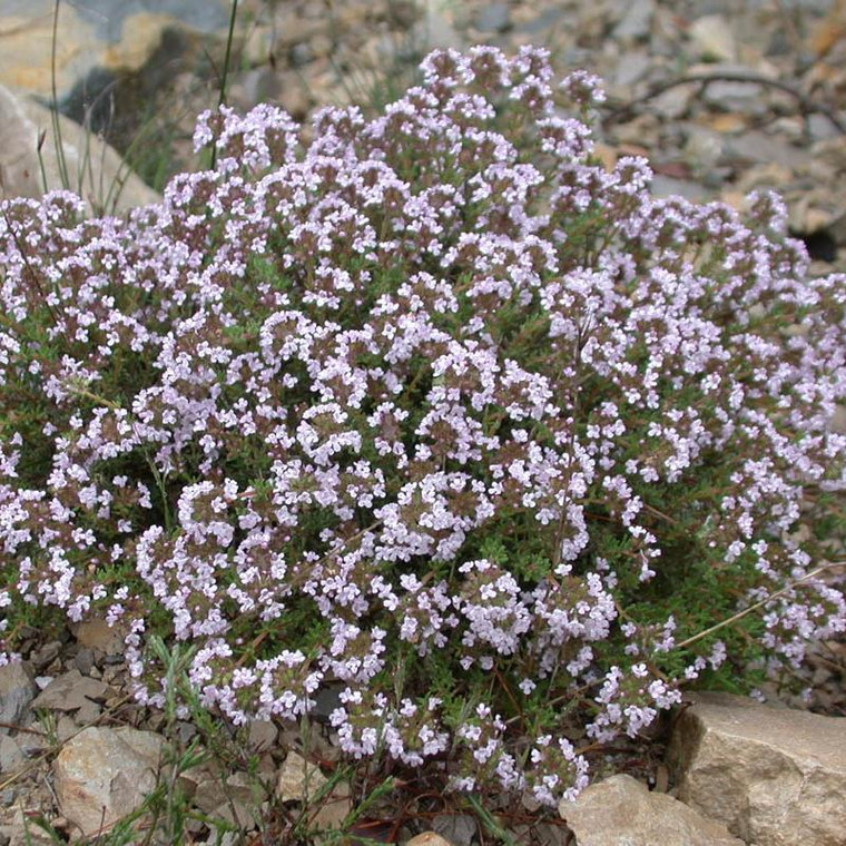 Buy Thymus vulgaris 'Thyme Common'   Herb Seeds for Sale