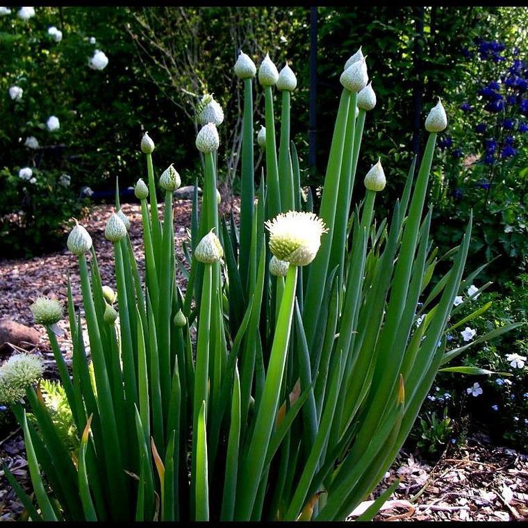 Buy Allium fistulosum, Welsh Onion | Herb Seeds for Sale