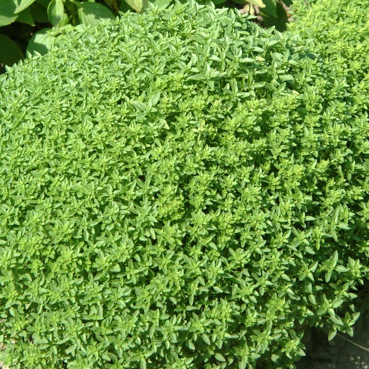 Buy Ocimum basilicum Basil, Greek   Herb Seeds for Sale