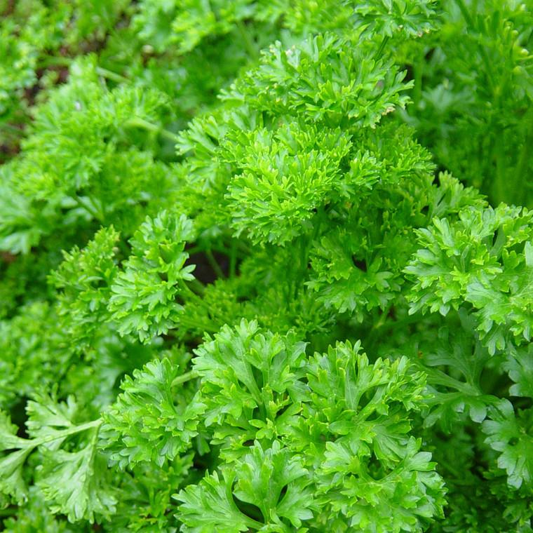Buy Petroselinum crispum, Curled Parsley   Herb Seeds for Sale