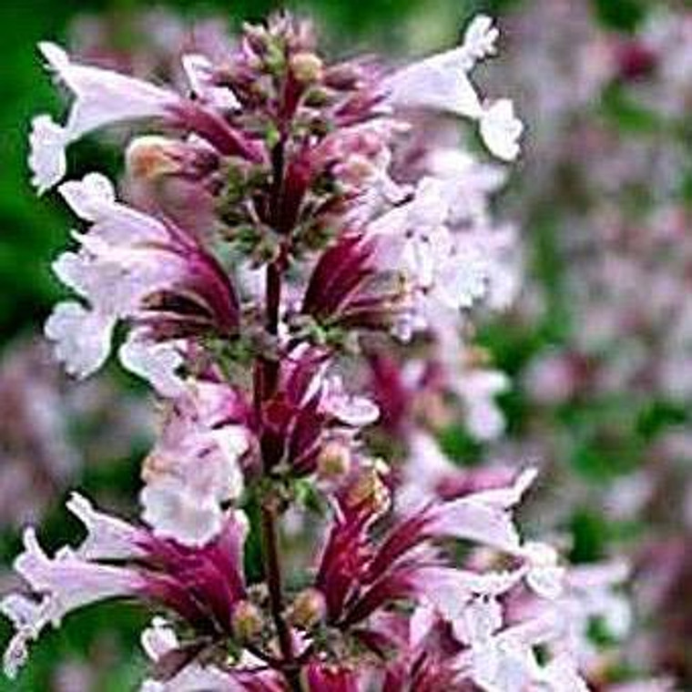 Buy Calamintha nepeta Lesser Calamint   Herb Plant for Sale in 9cm Pot