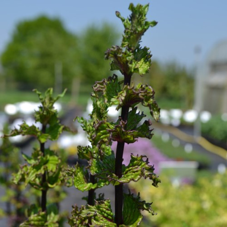 Buy Black Curly Mint (Mentha x piperita black peppermint) | Herb Plants for Sale