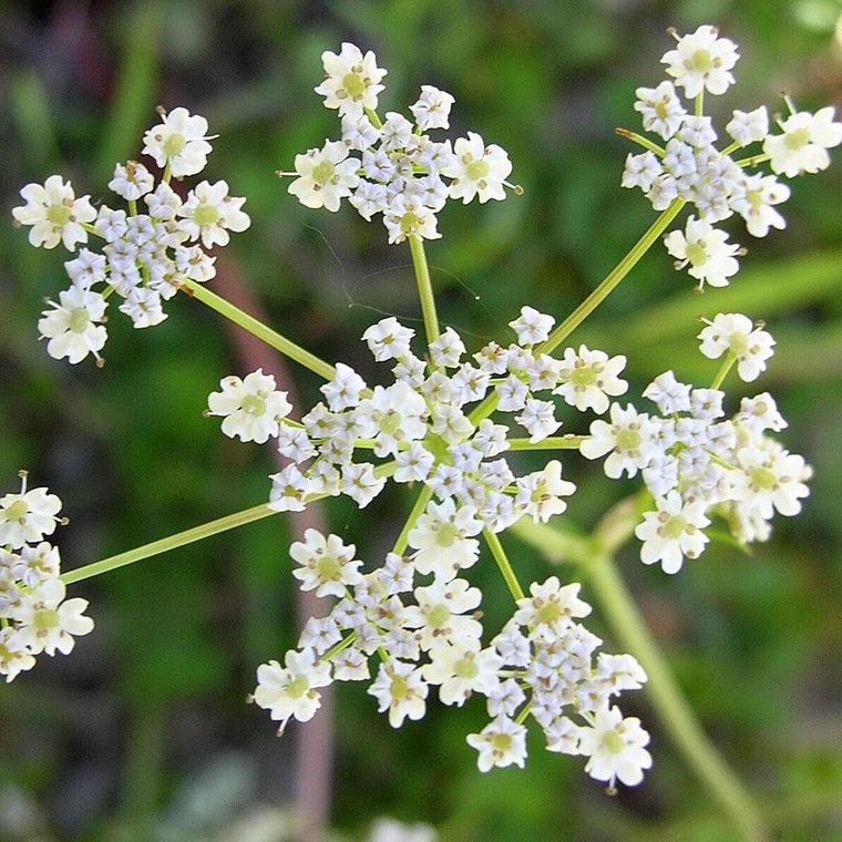 Buy Carum carvi Caraway | Herb Seeds for Sale