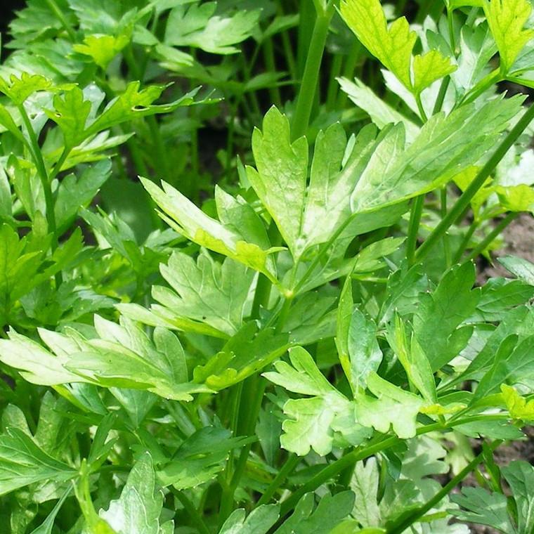 Buy Apium graveolens Celery Leaf | Buy Herb Seeds Online