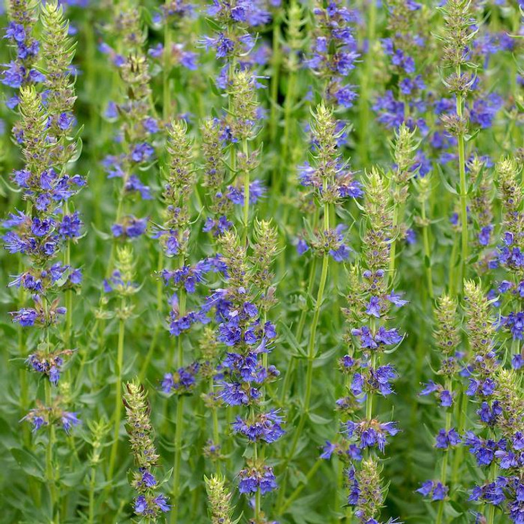 Buy Hyssopus Officinalis Blue Hyssop | Herb Seeds for Sale