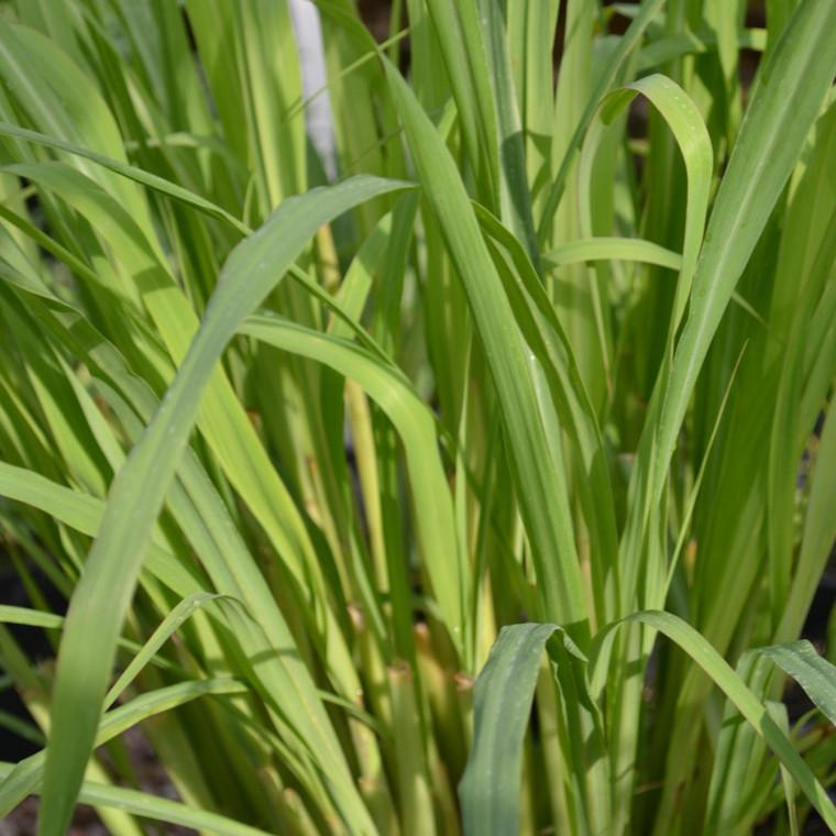 Buy Cymbopogon citratus, Lemon Grass | Herb Seeds for Sale