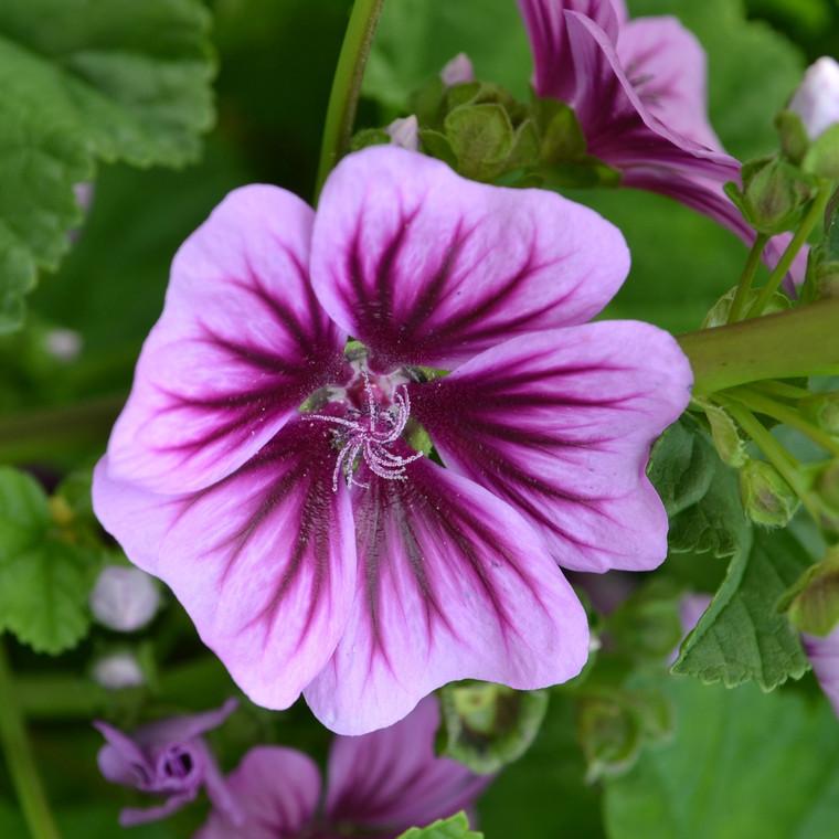 Buy Malva sylvestris 'Zebrina' Zebrina | Herb Plant for Sale in 1 Litre Pot
