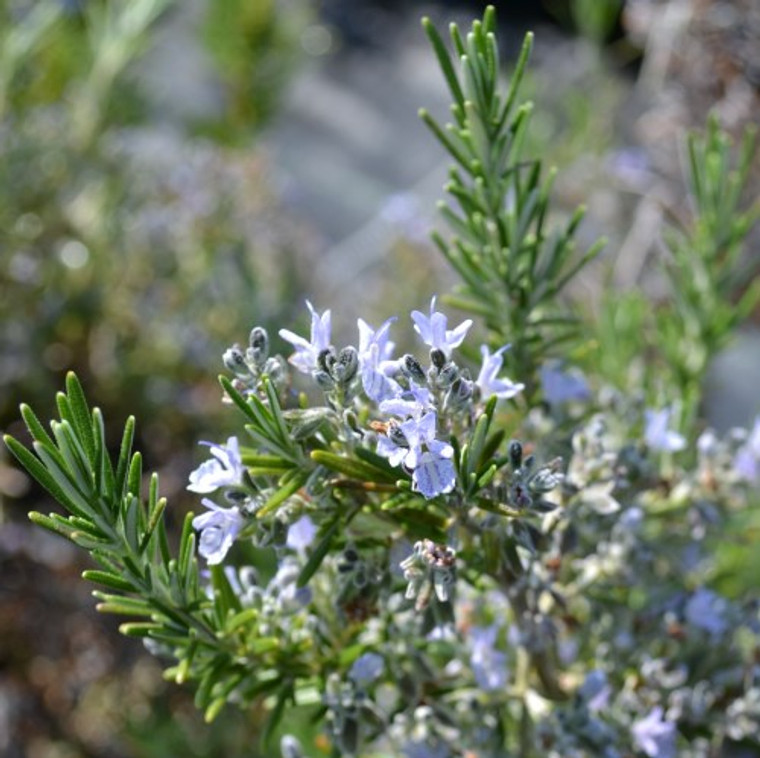 """Buy Rosemary Foxtail (Rosmarinus officinalis """"Foxtail"""")   Herb Plants for Sale"""