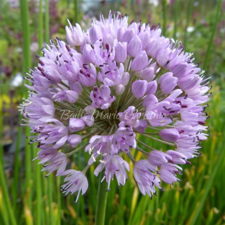 Allium nutans   Siberian chives   Blue Flowers   herb plants
