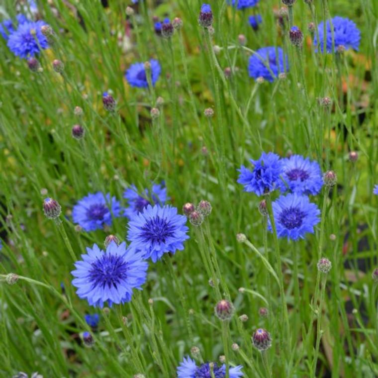 Buy Centaurea cyanus 'Cornflower Blue'   Buy Herb Plant Online in 9cm Pot