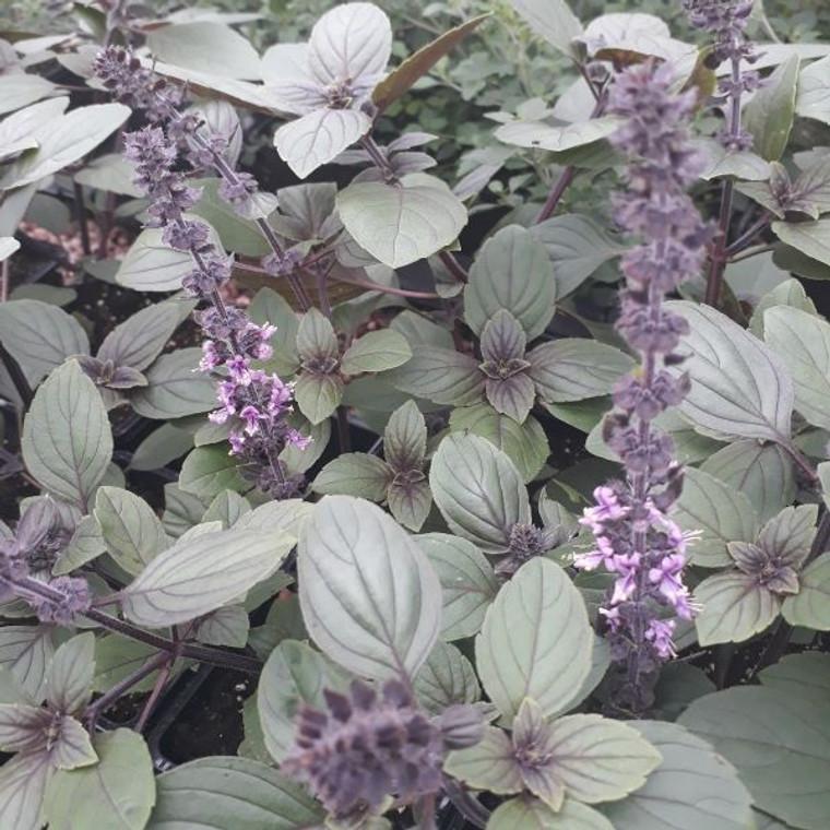 African Blue Basil (Ocimum kilimandscharicum) | Herb Plants for Sale