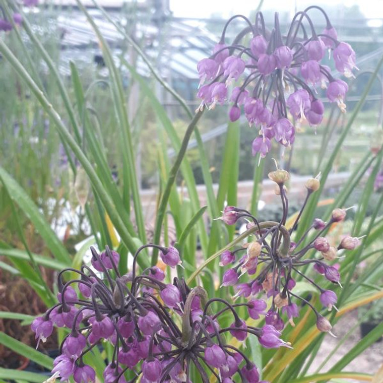 Allium Cernuum (Nodding Onion) Herb Plant |Herb plant for sale in 1 Litre Pot| Buy Online