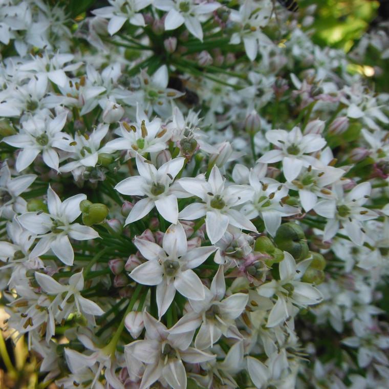 Buy Allium triquetrum | Herb Plant for Sale in 1 Litre Pot