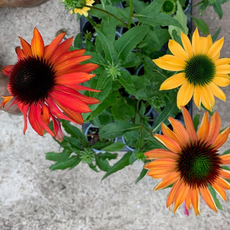 Cheyenne Spirit' (Cone Flower 'Cheyenne Spirit') | Herb Plant for sale online