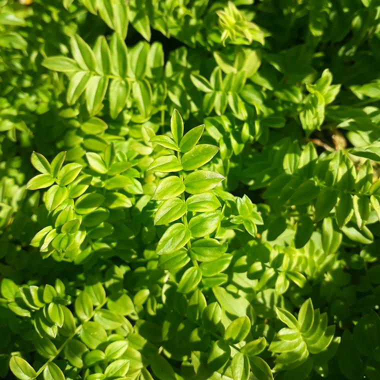Polemonium caeruleum f. albiflorum (Jacob's Ladder' White') Herb Plant |Buy Online