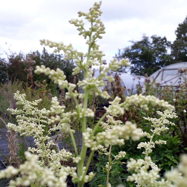 Artemisia lactiflora (Mugwort White) Herb Plant    Herb plant for sale in 1 Litre Pot