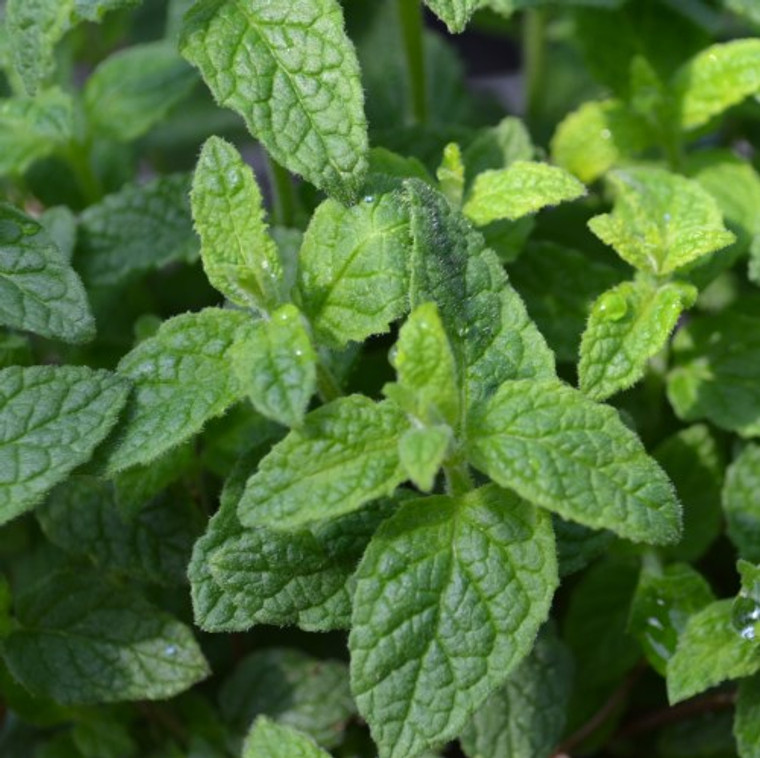 Buy Strawberry Mint   Herb Plants for Sale