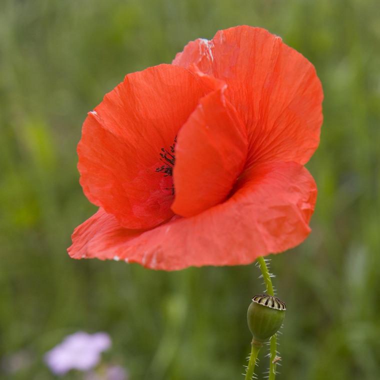 Buy Papaver rhoeas 'Common Poppy'   Buy Herb Plant Online in 9cm Pot