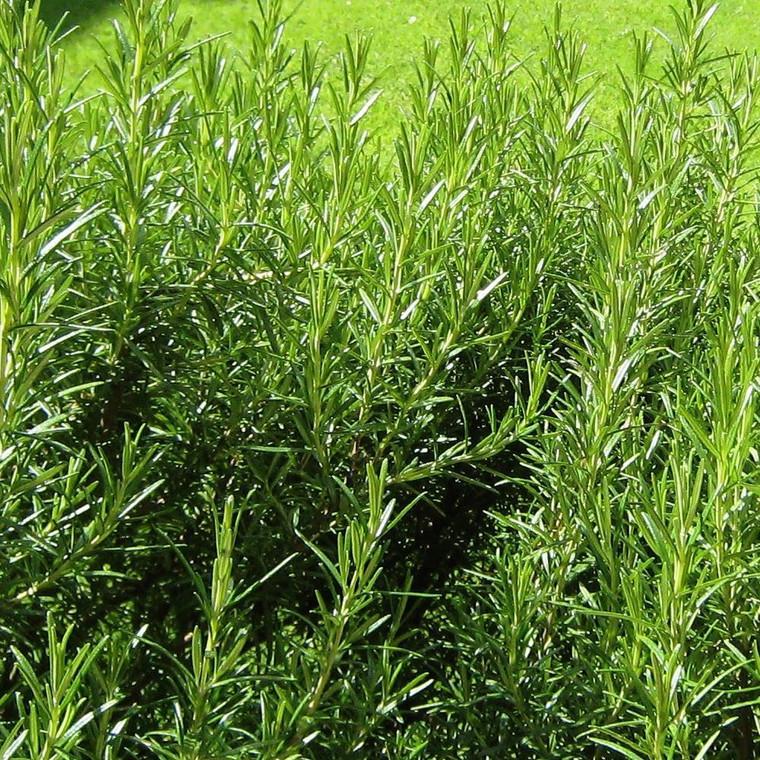 Buy Rosmarinus officinalis 'Aureus' Variegated Rosemary | Buy Herb Plant Online in 1 Litre Pot