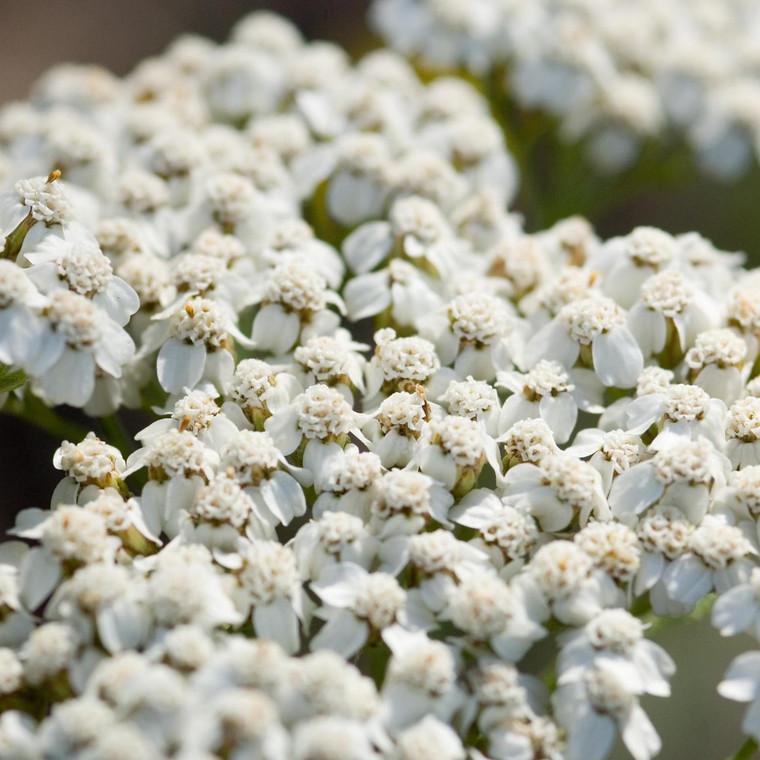 Buy Achillea millefolium 'Common Yarrow' Yarrow Common   Buy Herb Plant Online in 1 Litre Pot