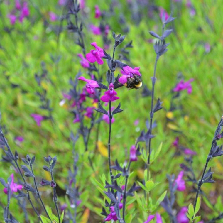 Buy Salvia greggil x serpyllifolia, 'Sage Purple Flowering' | Buy Herb Plant Online in 1 Litre Pot