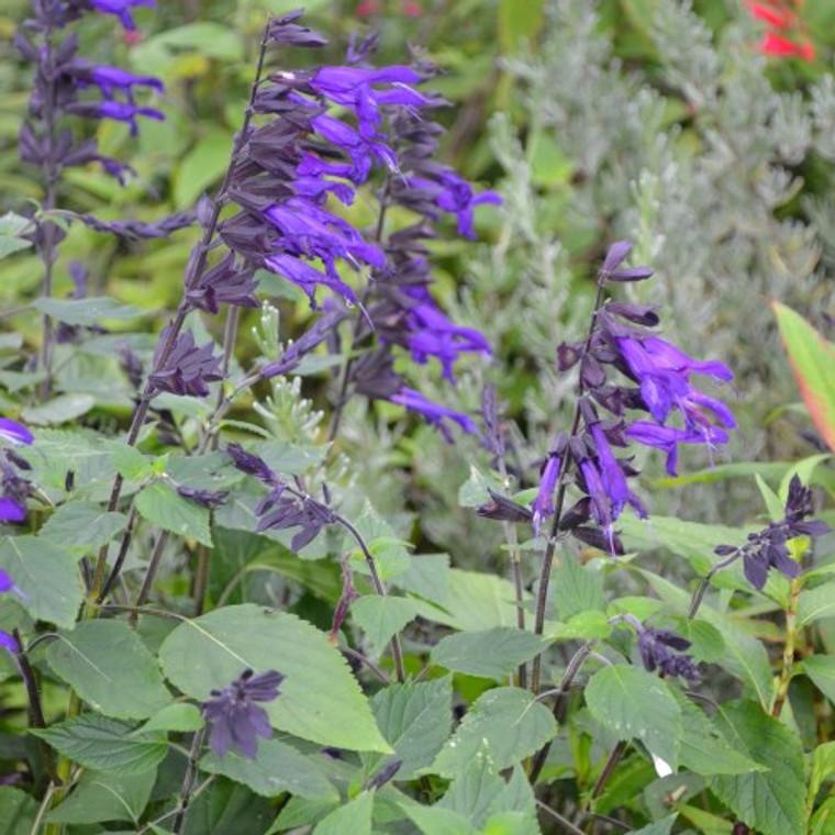 Buy Salvia 'Salvia Amistad' | Buy Potted Herb Plants Online