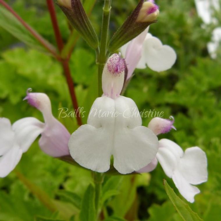 Salvia 'Trebah Lilac White'   White Flowers   Herb Plants Online