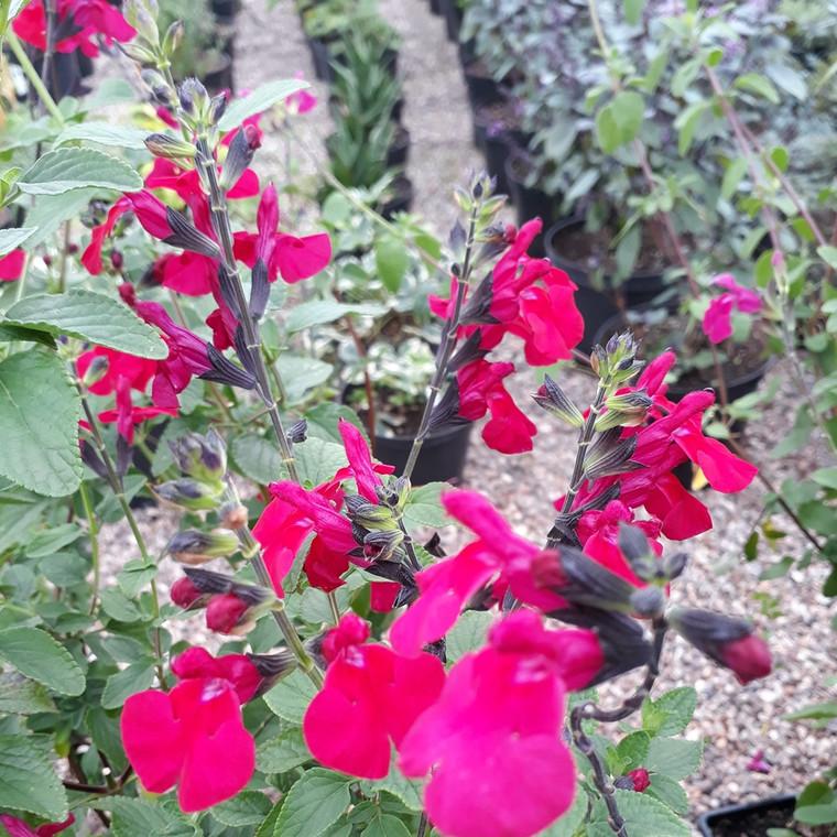 Buy Salvia 'Jackson's Cassis' (Sage 'Jackson's Cassis')   Herb Plant for Sale in 1Litre Pot