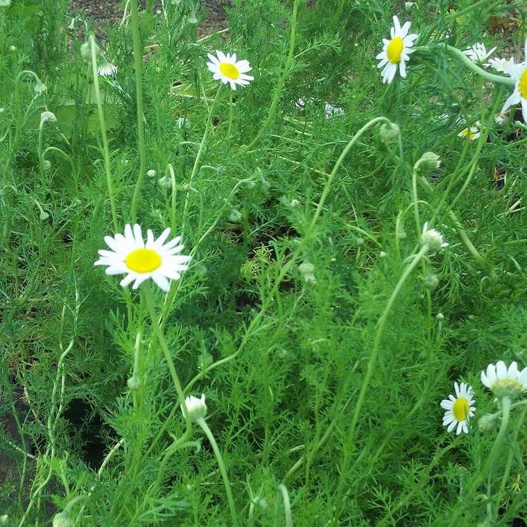 Buy Chamaemelum nobile, Roman Chamomile   Herb Seeds for Sale