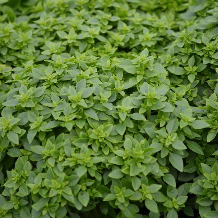 Buy Ocimum minimum 'Bush Basil'   Herb Seeds for Sale