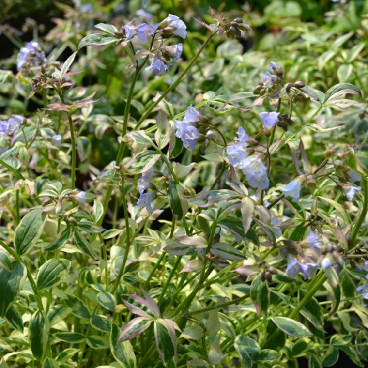 Buy Jacob's Ladder Stair Way to Heaven | Herb Plants for Sale
