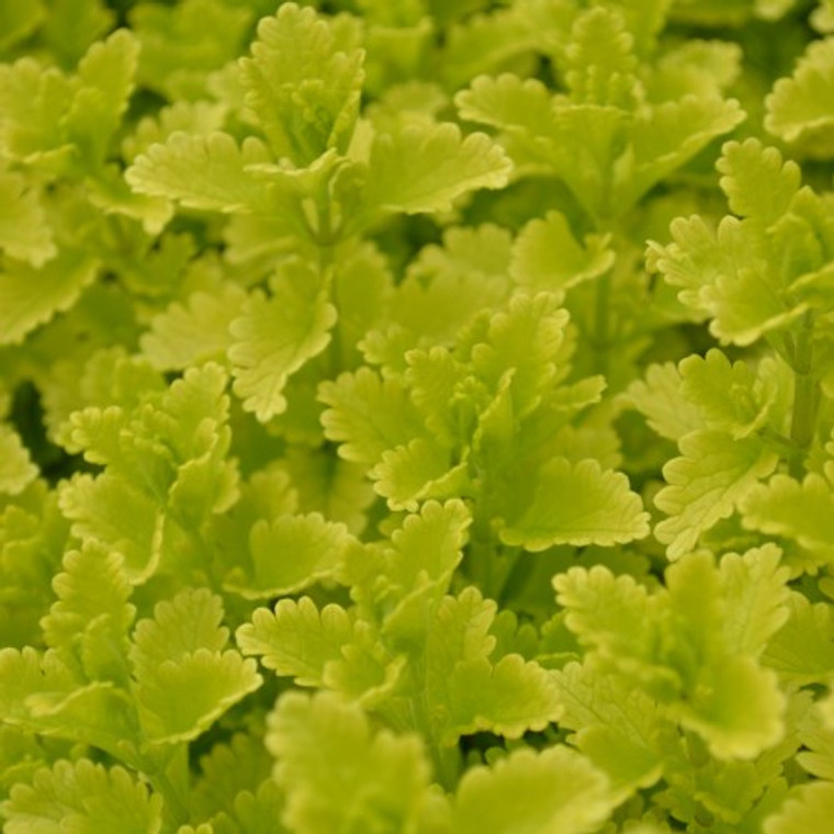 Buy Teucrium chamaedrys 'Summer Sunshine' Germander Summer Sunshine | Herb Plant for Sale in 1 Litre Pot