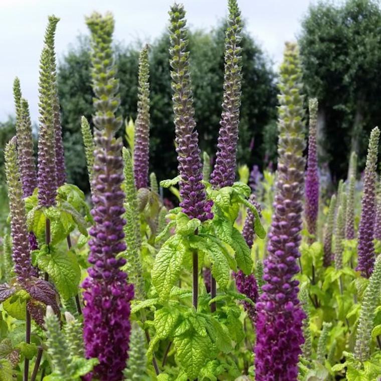 Teucrium hyrcanicum 'Purple Tails' | Germander 'Purple Tails' Herb Plant