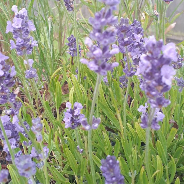 Lavandula angustifolia 'Melissa Lilac'  Lavender 'Melissa Lilac'  Herb Plant for sale in 1 Litre Pot