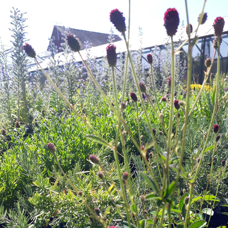 Sanguisorba 'Tanna' ( Burnet ' Tanna') Herb plant | Herb plant for sale in 9cm Pot
