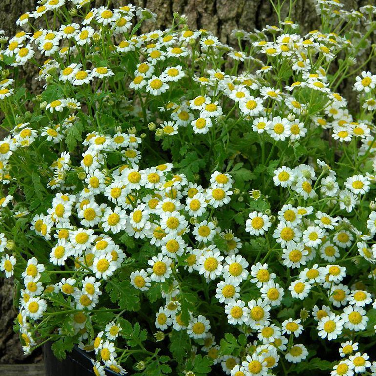 Buy Tanacetum 'Malmsbury 'Feverfew   Herb Plant for Sale in 1 Litre Pot
