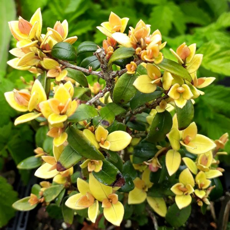 Ugni molinae  'Butterball' (Strawberry myrtle 'Butterball)| Buy Herb Plant Online