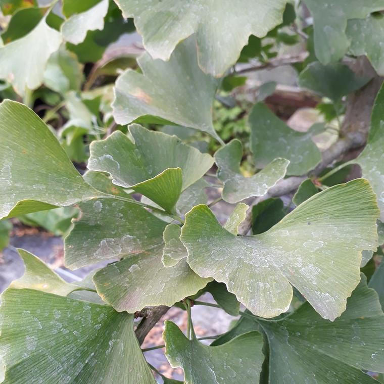 Ginkgo biloba(Maiden Hair Tree) Herb Tree  | Herb Tree for sale in 1 Litre Pot