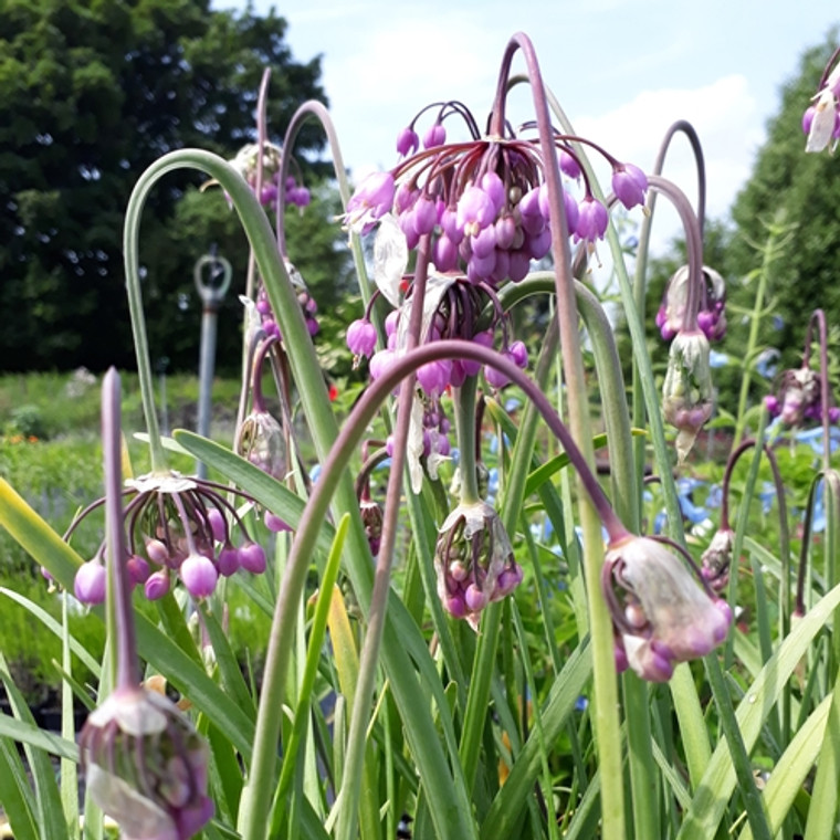 Buy Allium Cernuum 'Hidcote Pink'(Nodding Onion 'Hidcote Pink')| Herb Plant for Sale in 1 Litre Pot