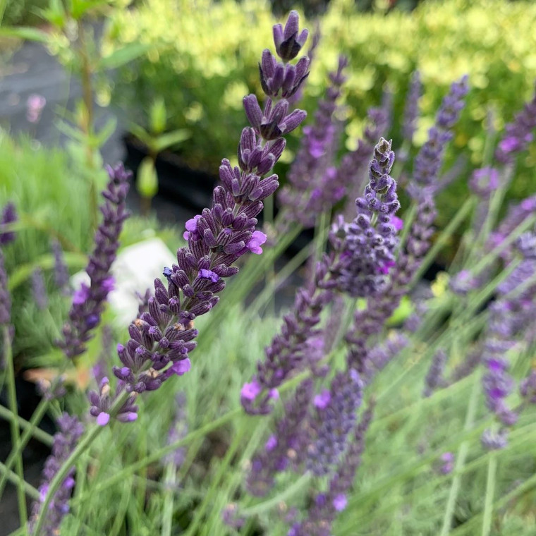 Lavandula x intermedia 'Heavenly Scent'   Lavender 'Heavenly Scent' Herb Plant