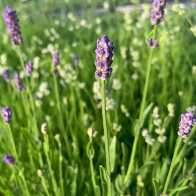 Lavandula angustifolia 'Thumbelina Leigh' (Lavender 'Thumbelina Leigh' ) | Herb plant for sale in 1 Litre Pot