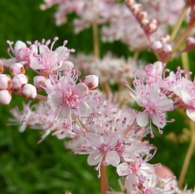 Filipendula ulmaria pupurea(Pink Meadowsweet)  Herb Plant for sale in 1 Litre Pot