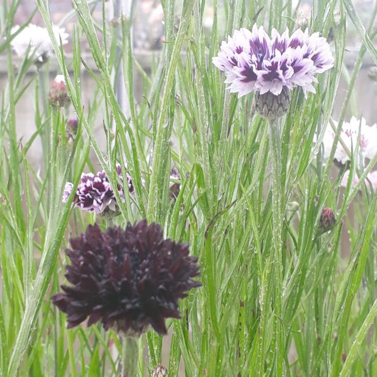 Centaurea cyanus 'Classic Magic' |Cornflower 'Classic Magic' |Herb Plant for sale in 9cm pot