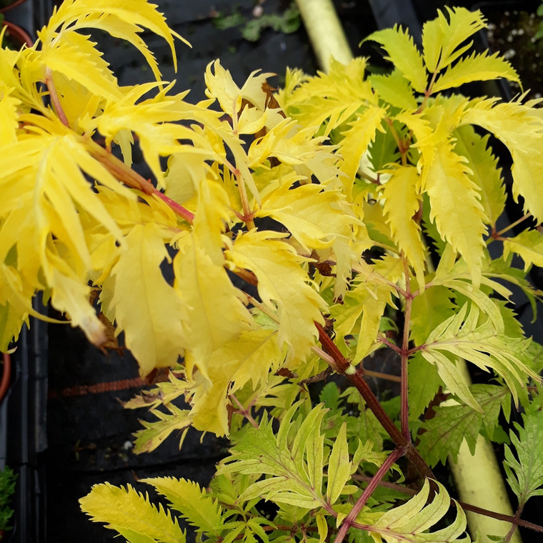 Sambucus racemosa 'Sutherland Gold' (Elder, 'Sutherland Gold') Herb Plant | Herb Plant for sale in 1 Litre Pot