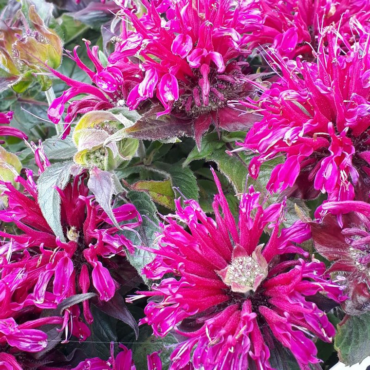 Monarda didyma 'Balmy Purple' (Bergamot 'Balmy Purple') Herb Plant for Sale Online