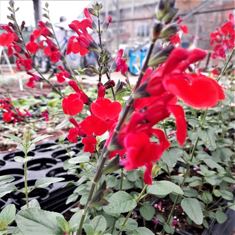 Buy Salvia x jamensis 'Royal Bumble' (Sage 'Royal Bumble') Herb Plant   Herb Plant for Sale in 1 Litre Pot