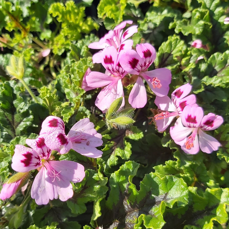 Pelargonium Oak Leaf(Geranium Scented Oak Leaf)|Herb Plant for sale online
