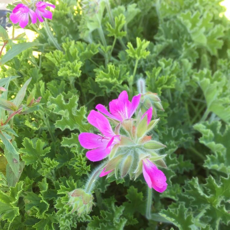 Pelargonium 'Pink Capitatum'(Geranium Scented 'Pink Capitatum')    Buy Herb Plant Online in 1 Litre Pot