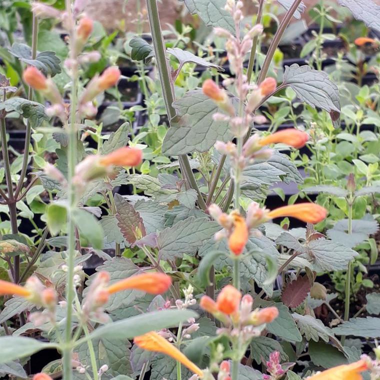 Agastache 'Tango'(Giant Hyssop'Tango') | Herb Plant for Sale Online