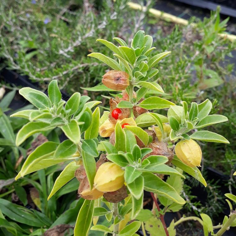Buy Withania somnifera (Ashwagandha) Herb Tree | Herb Seeds for sale